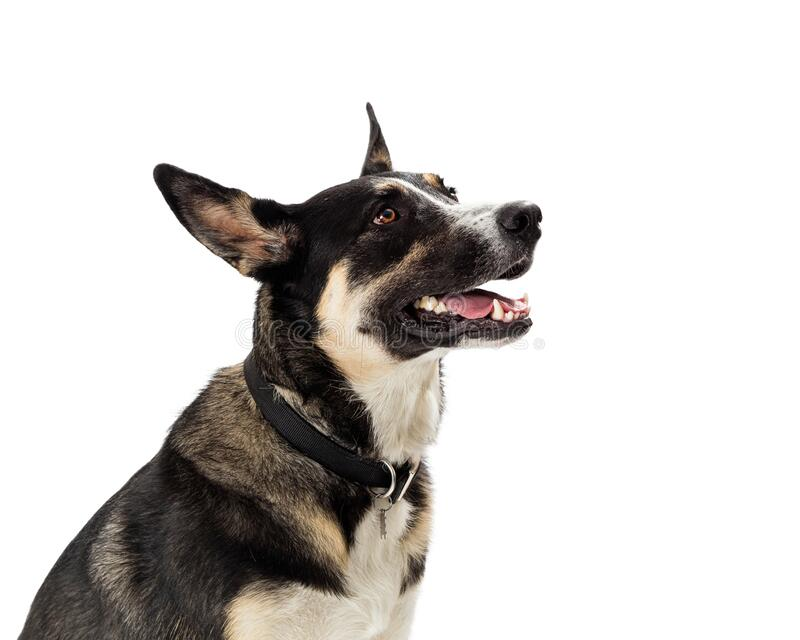 Beautiful Attentive Shepherd Dog Side View royalty free stock photography
