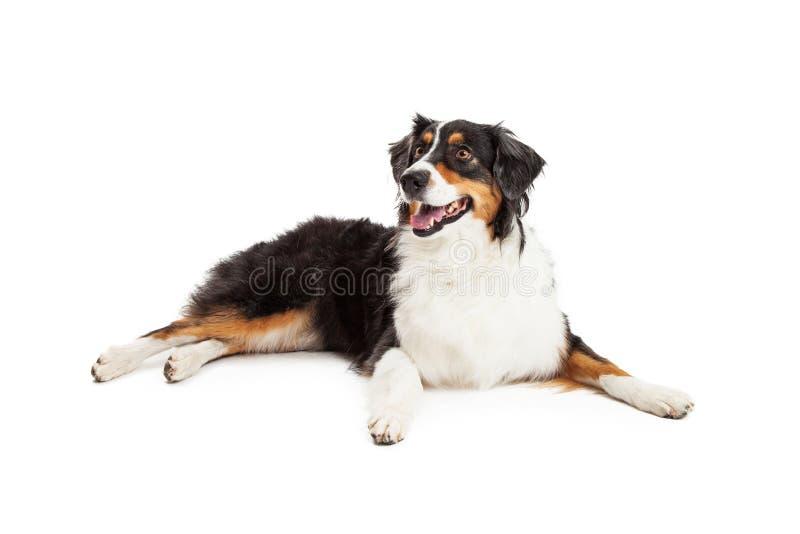 Beautiful Australian Shepherd Dog Laying stock image