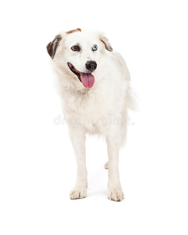 Beautiful Australian Shepherd Mix Breed Dog Standing. A beautiful Australian Shepherd Mix Breed Dog standing while looking off to the side. Mouth is open stock images