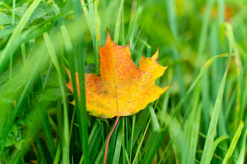 Beautiful autumn background bright colorful maple leaf in green grass. Beautiful autumn background bright colorful maple leaf with raindrops in green grass royalty free stock photo