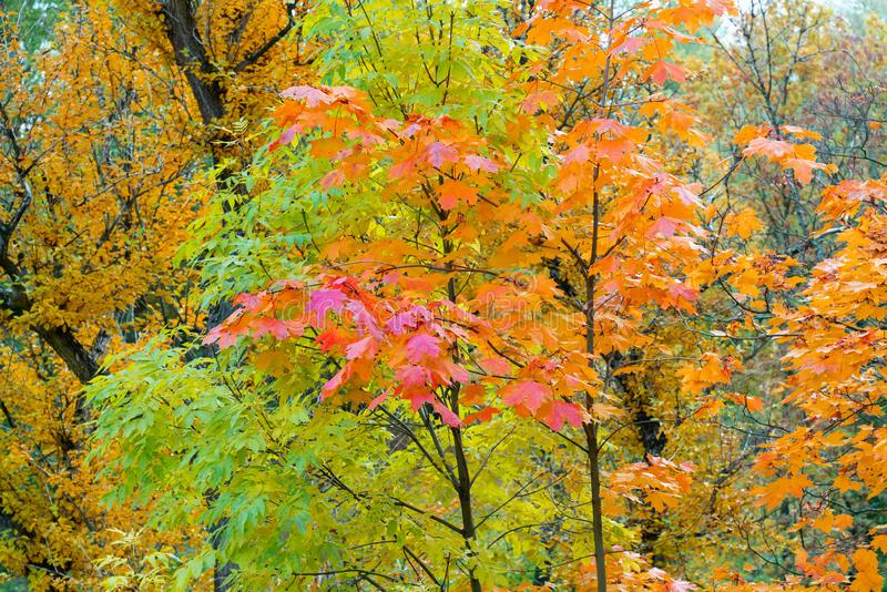 Beautiful autumn background colorful leaves on tree branches. Wallpaper or desktop design royalty free stock images
