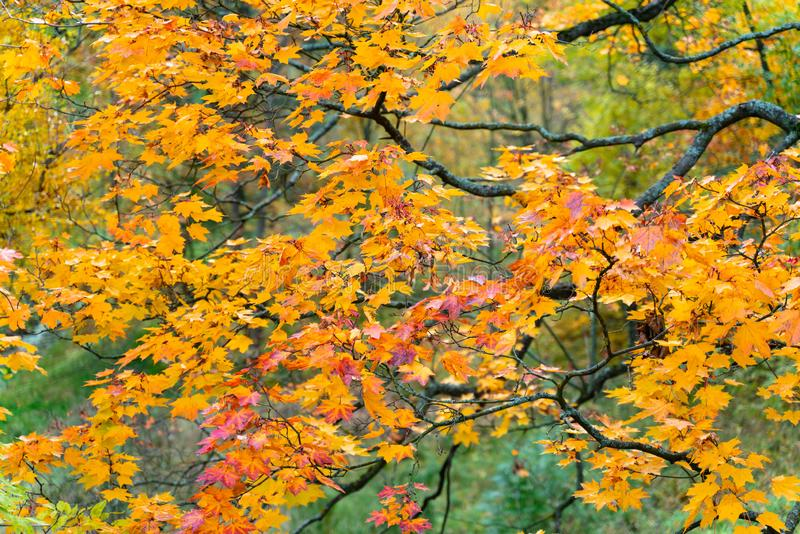 Beautiful autumn background colorful leaves on tree branches. Wallpaper or desktop design stock photography