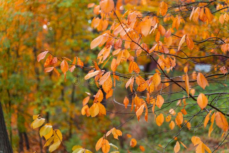 Beautiful autumn background colorful leaves on tree branches. Wallpaper or desktop design stock photo