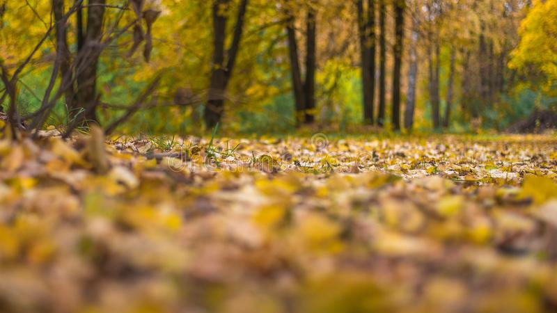 Beautiful autumn background. The leaves are yellow old on earth in the autumn day. Trees in the park. royalty free stock photos