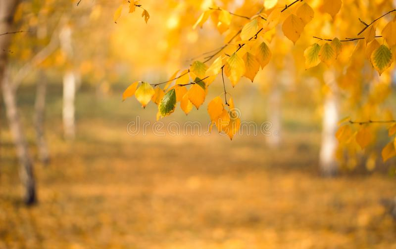 Autumn yellow birch foliage. Autumn in New England, USA. Beautiful autumn background. Picturesque autumn birch forest and falling yellow leaves stock image
