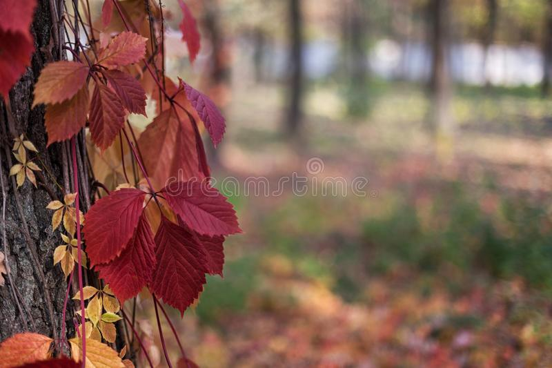 Beautiful autumn background. Vibrant red wild grapes leaves on a tree on foreground and blurred forest on background. stock photos