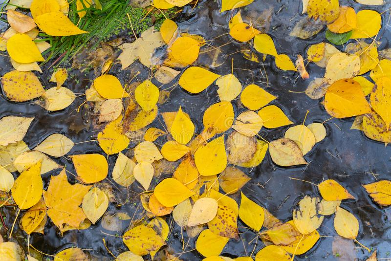 Beautiful autumn background of yellow birch leaves on the surface of the water. Top view royalty free stock photography