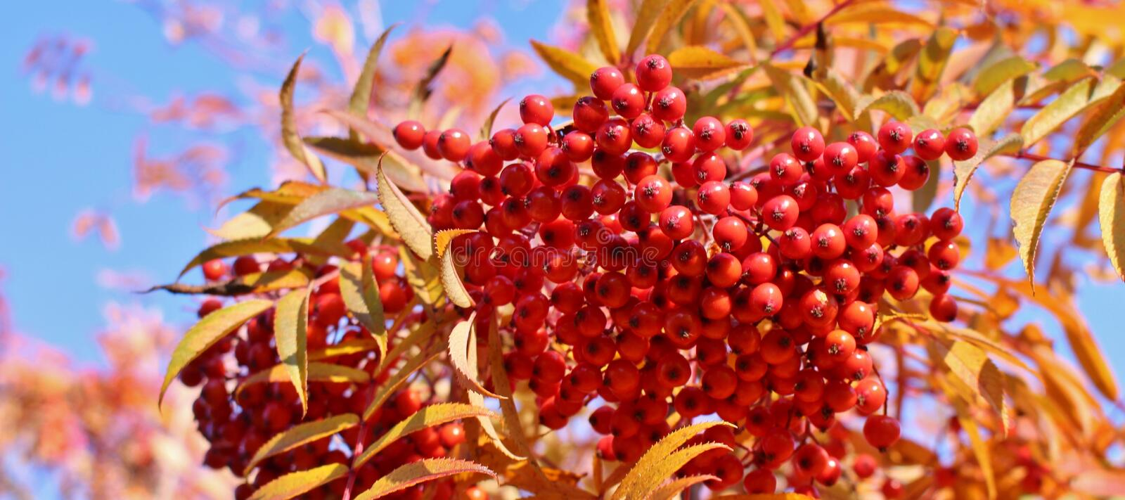 Autumn colored mountain ash. A beautiful autumn day when the sun shines over red rowan berries stock photography