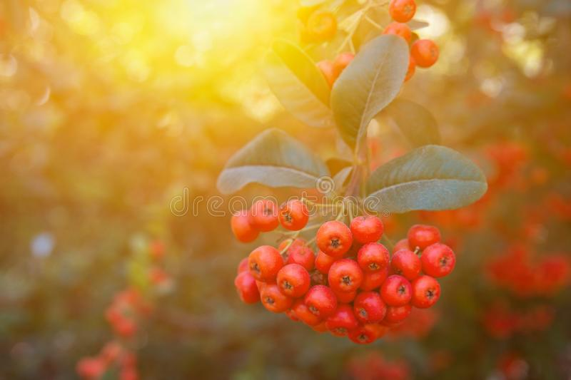 Beautiful autumn fall nature background pyracantha shrub with red berries dark green foliage in forest in golden sunlight stock photos