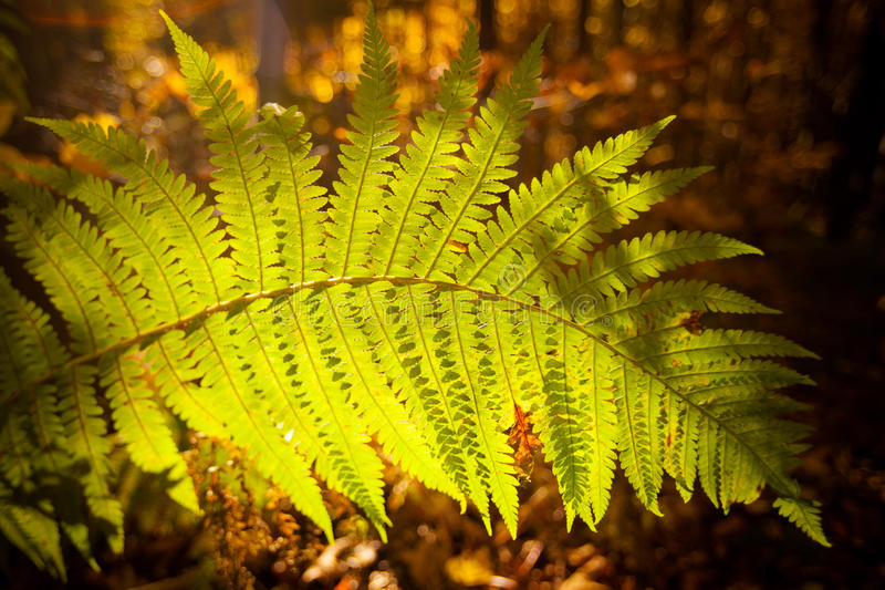 Beautiful autumn fem detail. Autumn detail photo of fem taken in woods, in polish Beskidy mountains, Krawcow Wierch stock photos