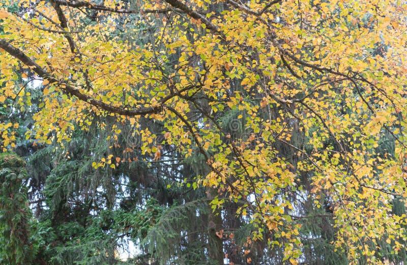 Beautiful autumn foliage of birch stock photo