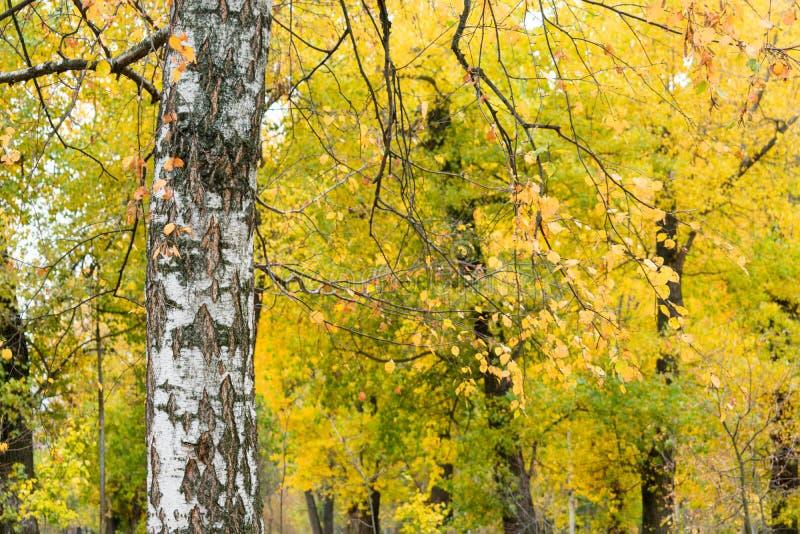 Beautiful autumn foliage of birch stock photos