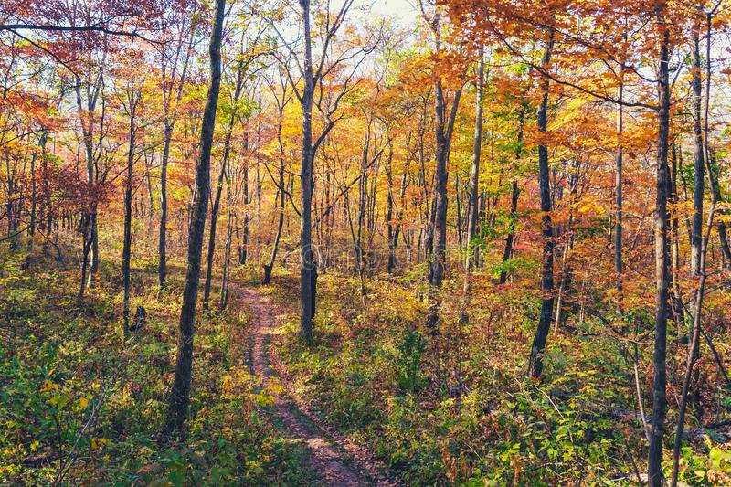 Beautiful autumn forest with colorful trees. And a narrow path royalty free stock images