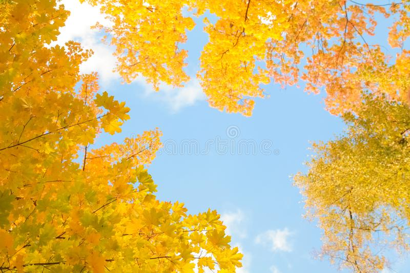 Beautiful autumn forest with yellow branches and leaves and blue sky with nobody. Nature in the fall beautiful trees with colorful leaves stock images