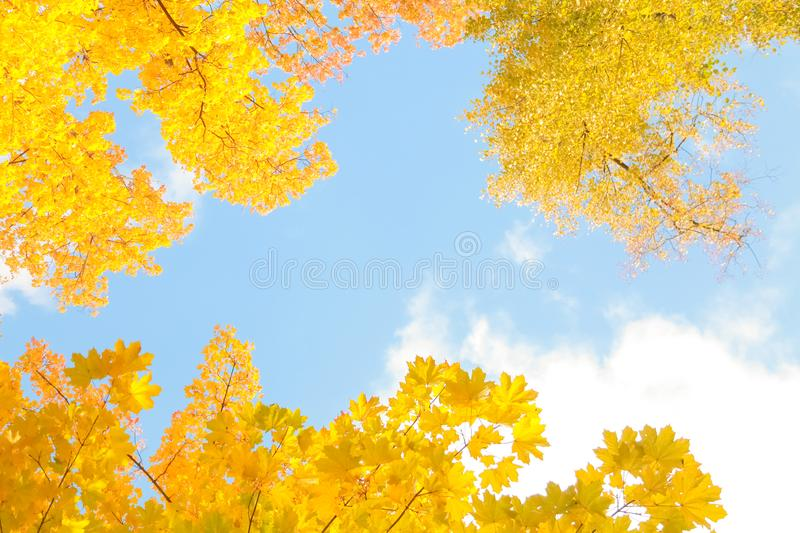Beautiful autumn forest with yellow branches and leaves and blue sky with nobody. Nature in the fall beautiful trees with colorful leaves royalty free stock images