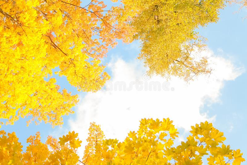 Beautiful autumn forest with yellow branches and leaves and blue sky with nobody. Nature in the fall beautiful trees with colorful leaves royalty free stock photos