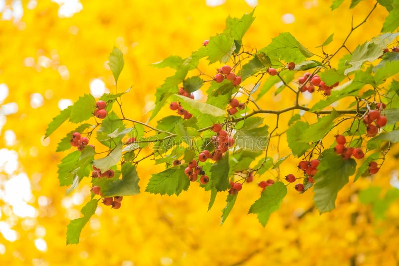 Beautiful autumn forest with yellow branches and leaves with nobody. Nature in the fall beautiful trees with colorful leaves royalty free stock photography