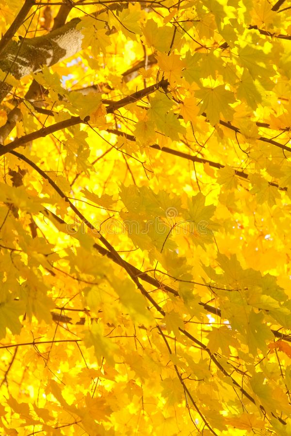 Beautiful autumn forest with yellow branches and leaves with nobody. Nature in the fall beautiful trees with colorful leaves stock photography