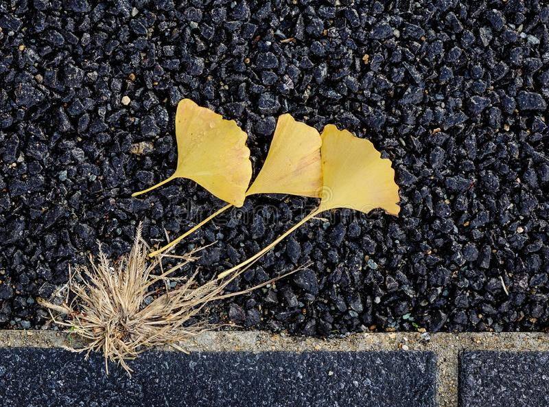 Beautiful autumn ginkgo leaves stock images