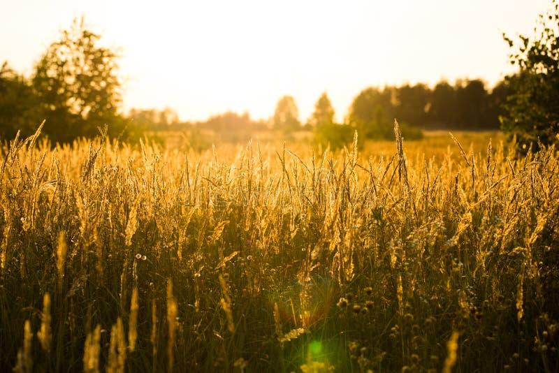 Meadow Fescue Grass Festuca Partensis Growing On Meadow. Beautiful Autumn Landscape Of Meadow Fescue Grass Festuca Partensis Growing On Meadow At Sunset Sun stock photos