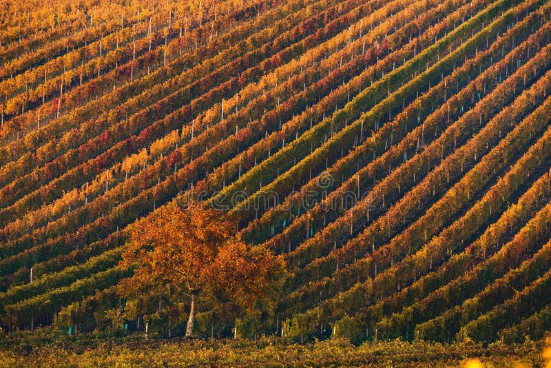 Beautiful Autumn Landscape With Multi-Colored Lines Of Vineyards / Grapevines And Tree With Orange Foliage In Morning Sun.Rows Of royalty free stock photography