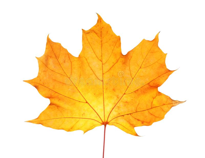 Beautiful autumn leaf on white background. Fall foliage stock photo