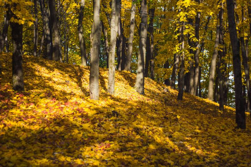 Beautiful autumn leaves on the forest floor and yellowed trees in a colorful grove. Autumn landscape yellow-orange trees with royalty free stock image