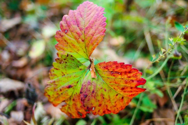 Beautiful autumn leaves royalty free stock photo
