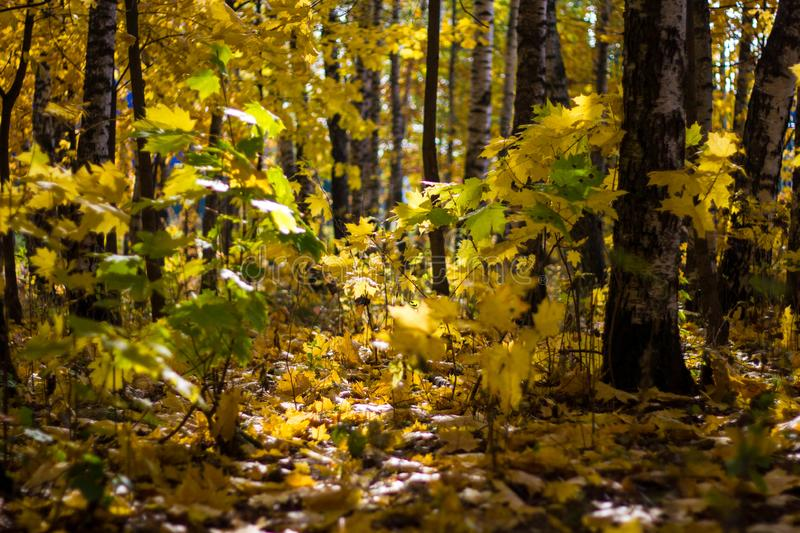 Beautiful autumn maple leaves on the forest floor and yellowed trees in a colorful grove. Autumn landscape yellow-orange trees stock photo