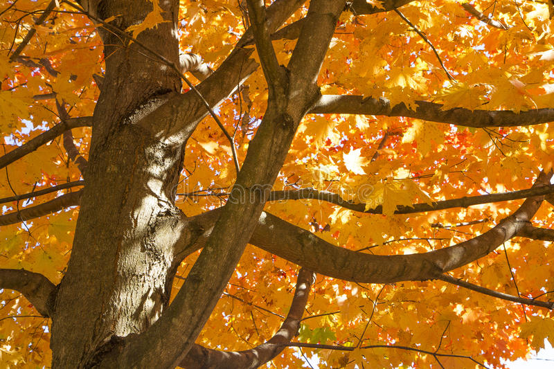 Download Beautiful Autumn Maple Tree Royalty Free Stock Images - Image: 27310239