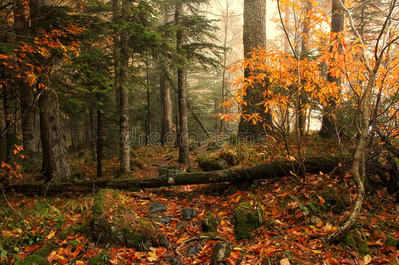Beautiful autumn mixed forest with yellow leaves on the ground and mild fog on background royalty free stock photos