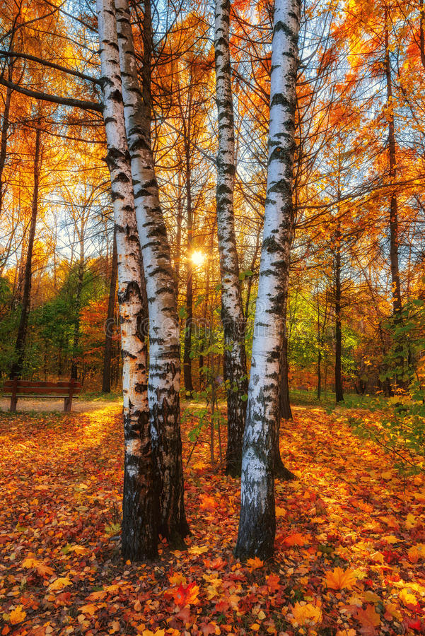 Beautiful autumn morning in the park with soft golden light. Beautiful autumn morning in the park with soft golden light, Siberia, Russia royalty free stock photo