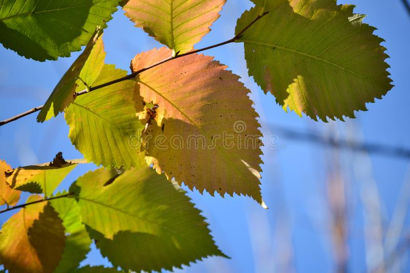 Beautiful autumn multicolored hazel leaves. Red, yellow, green against a blue sky. Close-up royalty free stock photography