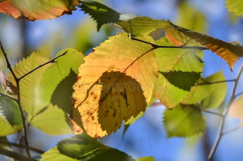 Beautiful autumn multicolored hazel leaves. Red, yellow, green against a blue sky. Close-up royalty free stock photo