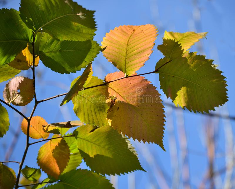 Beautiful autumn multicolored hazel leaves. Red, yellow, green against a blue sky. Close-up stock photo
