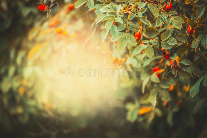Beautiful autumn nature background with frame of dog roses with red fruits and berries in garden or park at sunset light royalty free stock photo