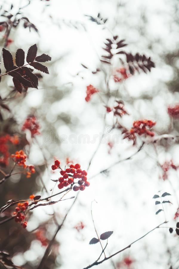 Red ashberry on white sky background with nobody. Beautiful autumn nature with brown branches stock photo