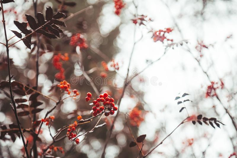 Red ashberry on white sky background with nobody. Beautiful autumn nature with brown branches royalty free stock image