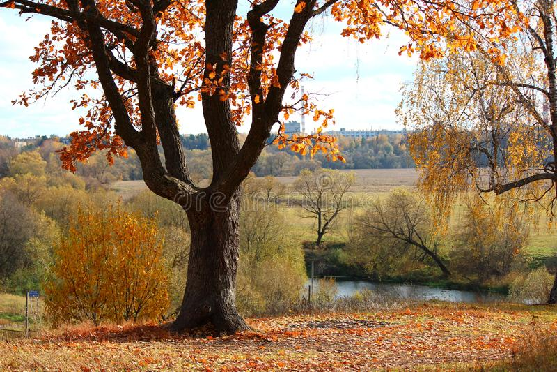 Beautiful autumn oak tree on the hill, yellowing foliage stock photo