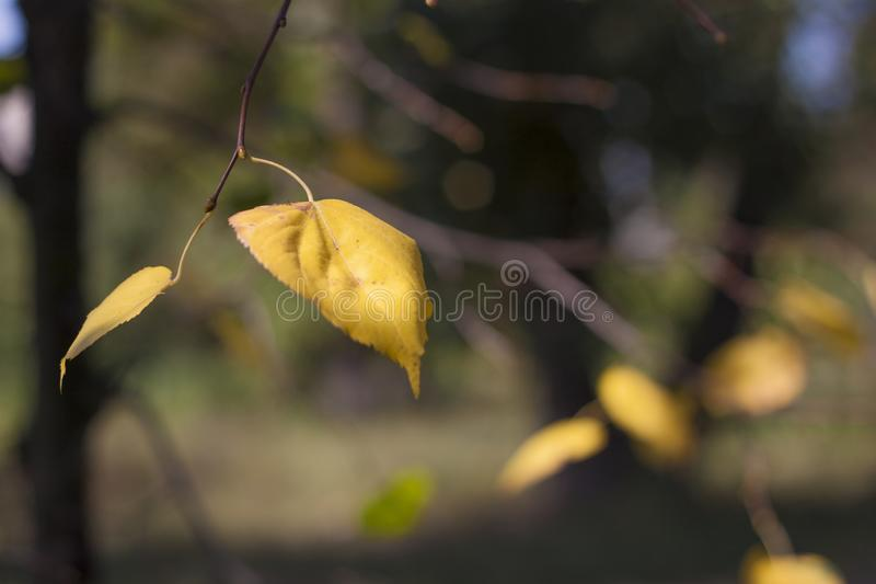 Beautiful autumn, in the park yellow leaves royalty free stock photos