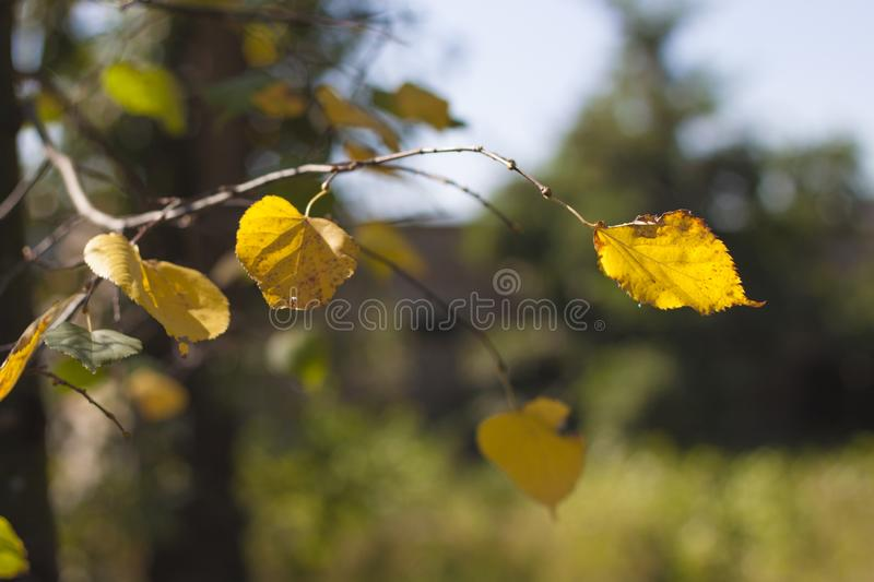Beautiful autumn, in the park yellow leaves royalty free stock photography