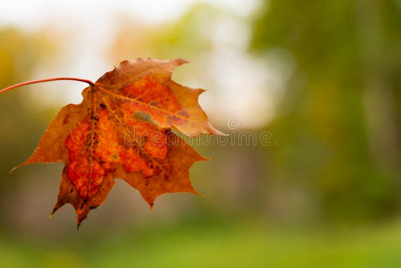 Beautiful autumn picture bright colorful maple leaf with blurred background. Close-up stock images