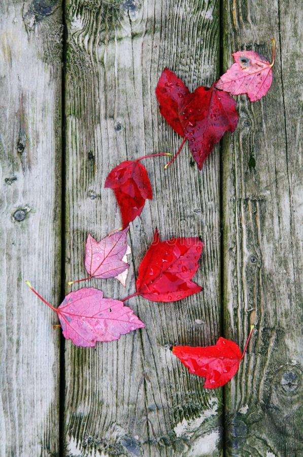 Beautiful Autumn Red Maple leaves Fallen on the Ground on Fall stock photo