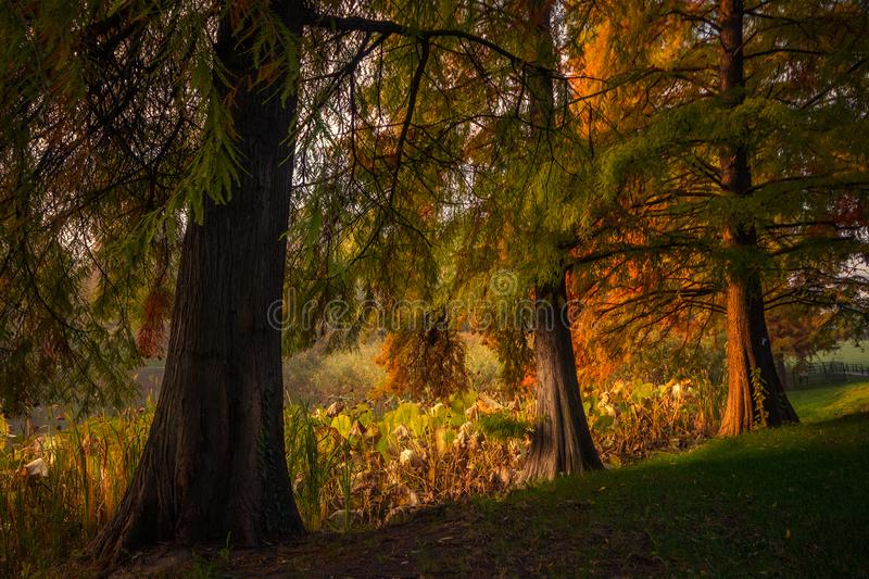 Beautiful autumn scene with trees in the morning in the park near the lake stock photo