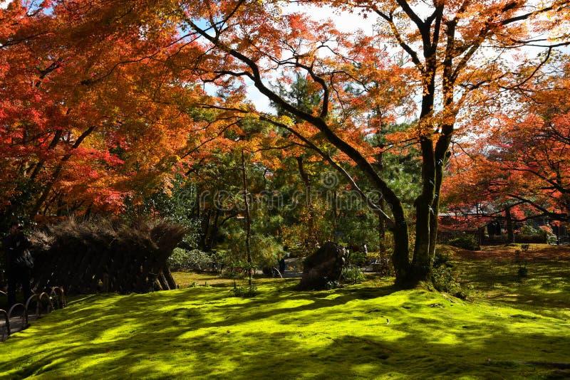 Beautiful autumn scenery of colorful foliage of fiery maple trees stock photo