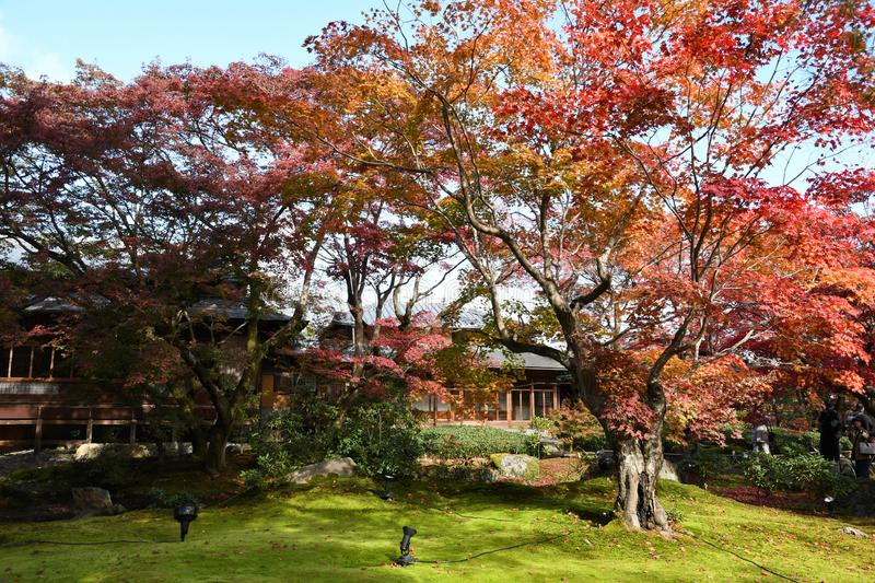 Beautiful autumn scenery of colorful foliage of fiery maple trees. And green glass. Autumn. a garden in Kyoto stock image
