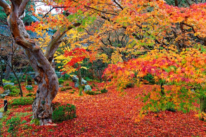 Beautiful autumn scenery of colorful foliage of fiery maple trees and a red carpet of fallen leaves in a garden in Kyoto stock photo
