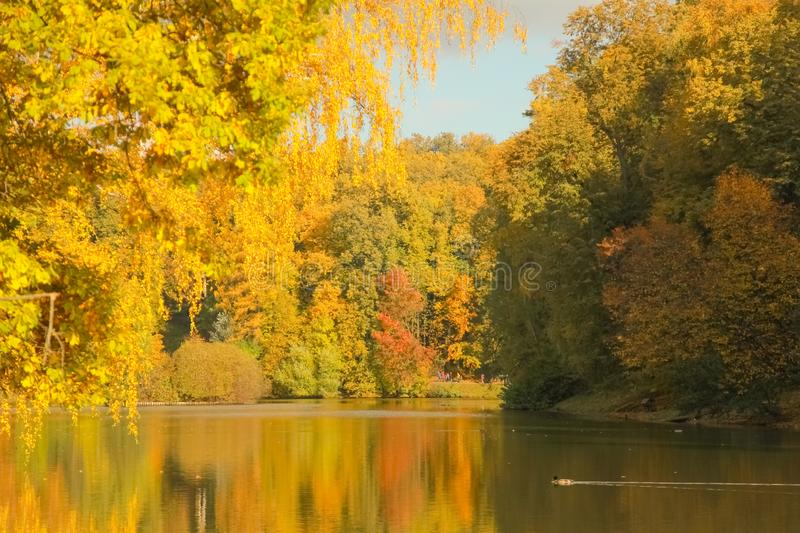 Beautiful autumn trees with yellow branches and leaves near water with reflection with nobody. Nature in the fall beautiful trees with colorful leaves royalty free stock image