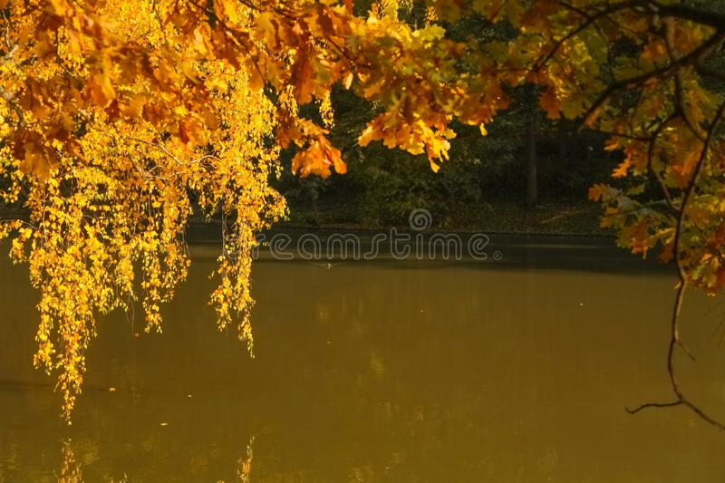 Beautiful autumn trees with yellow branches and leaves near water with reflection with nobody. Nature in the fall beautiful trees with colorful leaves stock image