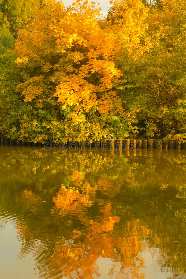 Beautiful autumn trees with yellow branches and leaves near water with reflection with nobody. Nature in the fall beautiful trees with colorful leaves royalty free stock photo